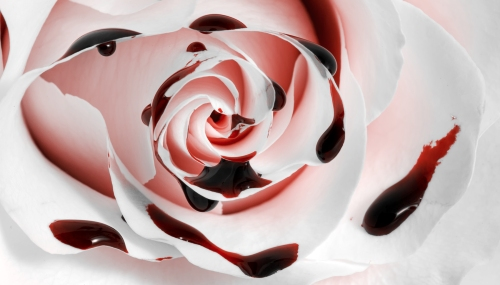 Blutende Rose, wieder Jungfrau